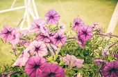 pic of petunia  - Violet Petunia or Petunia Hybrida Vilm in the garden or nature park vintage