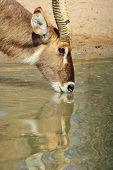 stock photo of antelope horn  - A bull Waterbuck antelope - JPG