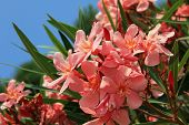 stock photo of oleander  - Closeup of  mediterranean oleander bush with blooms - JPG