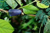 image of hopper  - Red and blue plant hopper on leaf in forest