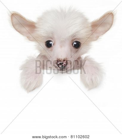 Funny Cute Chinese Crested Puppy Above White Banner