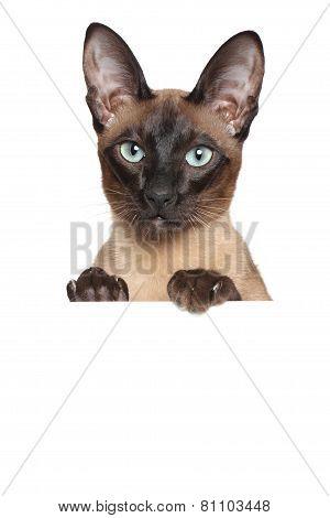 Oriental Siamese Cat Above Banner