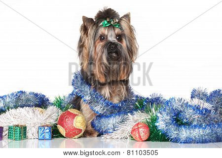 Yorkshire Terrier In Christmas Gifts And Garlands
