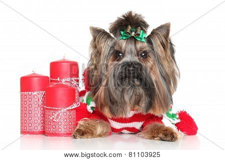Yorkshire Terrier With Red Christmas Candles