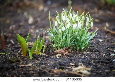 Snowdrop Flowers Blooming
