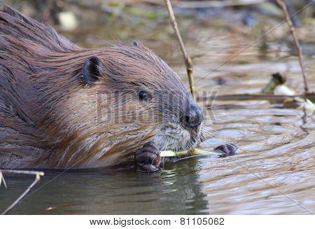 Beaver Eating