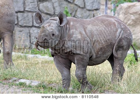 rhino bicuspid