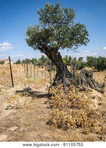 Olive Tree, Noves, Castilla La Mancha, Spain