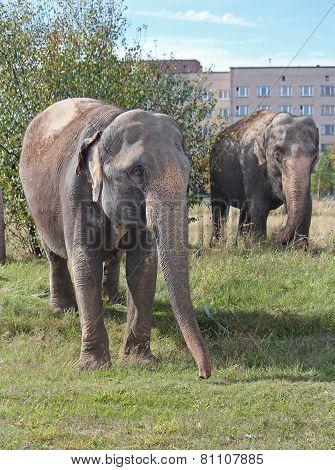 Two elephants walking in a meadow near the house