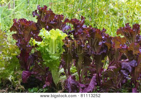 Bed Of Green And Purple Lettuce