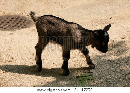 Domestic goat (Capra aegagrus hircus) kid.