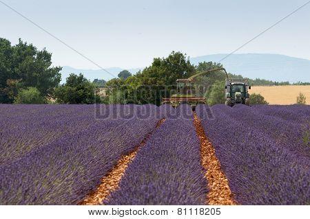 Levander harvest