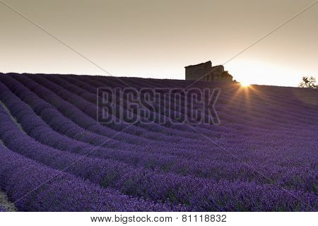 Sunrise Over Lavender Field