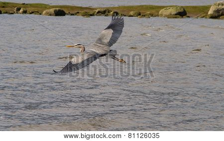 Flying Great Heron