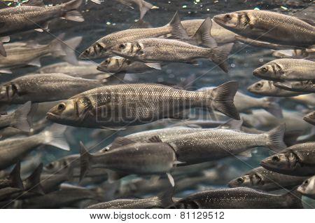 School of Silver Gray Fish