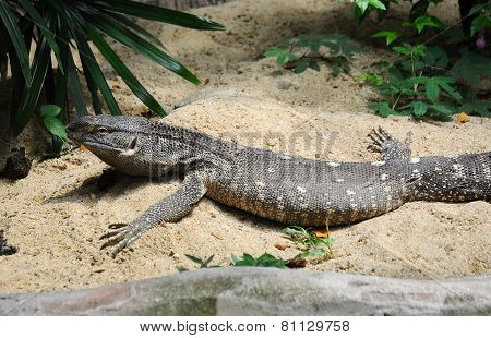 Black Throat Monitor