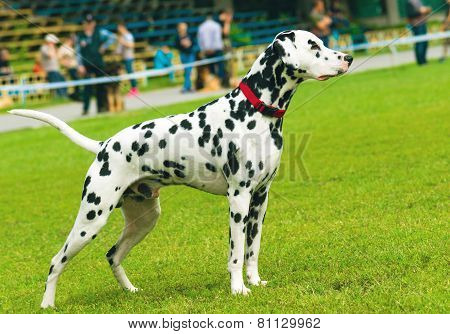 Dalmatian on competition.