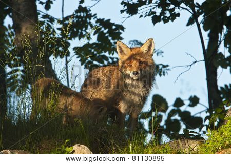 female red fox, Vosges, France