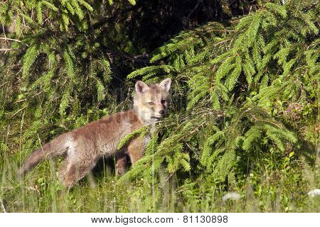 baby red fox in the forest, Vosges, France