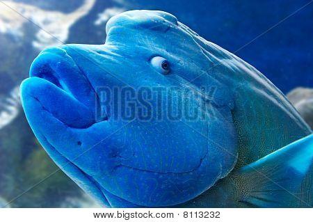 Humphead Wrasse Fish