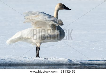 Tundra Swan Flaps Its Wings