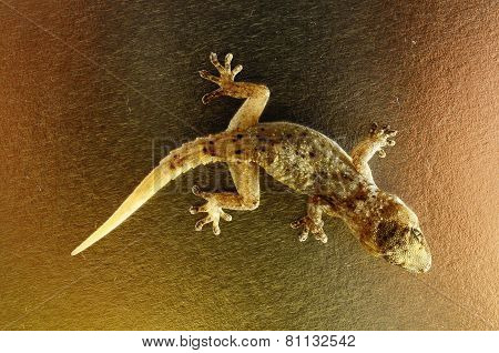 Gray Gecko Lizard