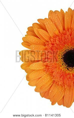 orange flower on a white background