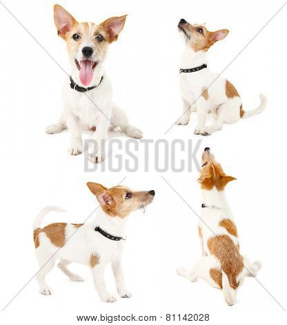 Funny little dog terrier in different poses isolated on white