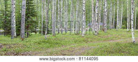 Birches this side a river.