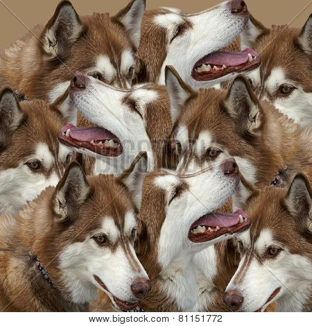 Grouping Of Siberian Huskies