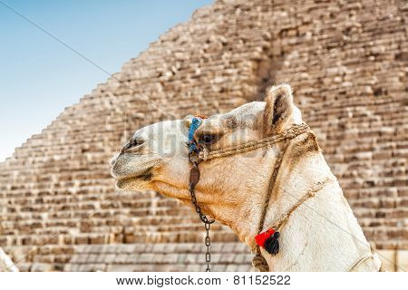 Camel with the great Pyramid in background