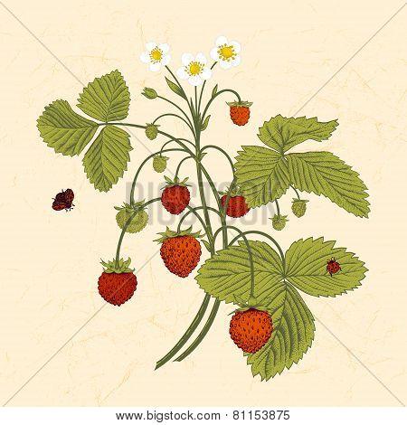 Bush of wild strawberries.