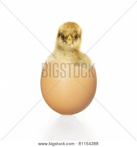 Chick Looking Out Of Egg