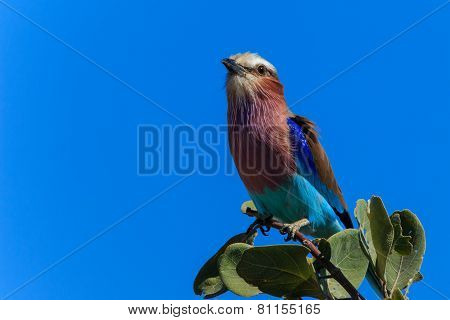 Lilac-breasted Roller On A Branch Close Up