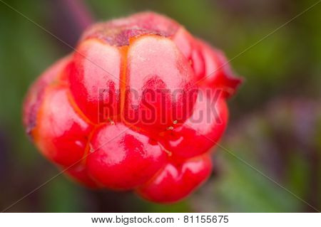 Berry Cloudberry Summer Polar Plant Macro