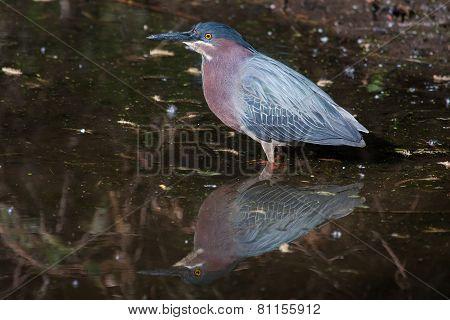 Green Heron (butorides Virescens Virescens)