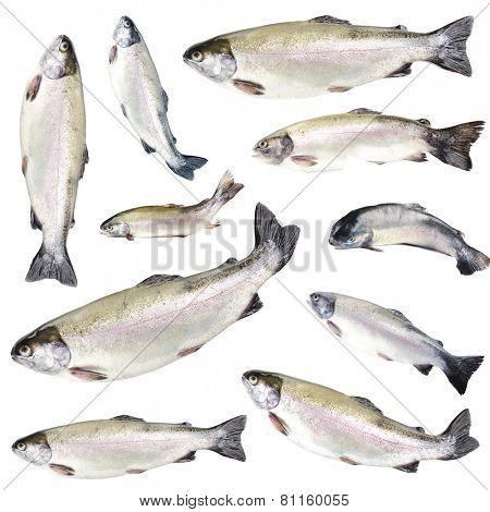 Collage of fresh trout fishes, isolated on white