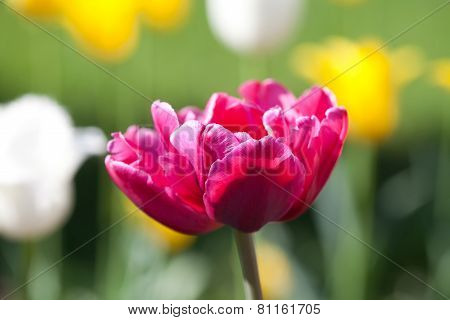 Fresh Colorful Tulips In Warm Sunlight. Stock Photo.