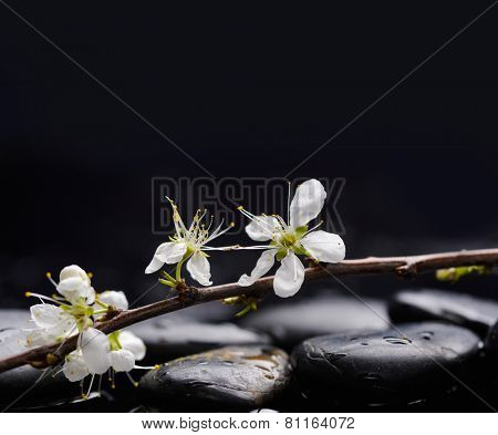 Lying down branch with blossoms with therapy stones