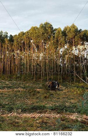 Felling Of Eucalyptus