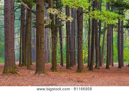 Mixed Forest With Old Tall Trees In Northern Latitudes