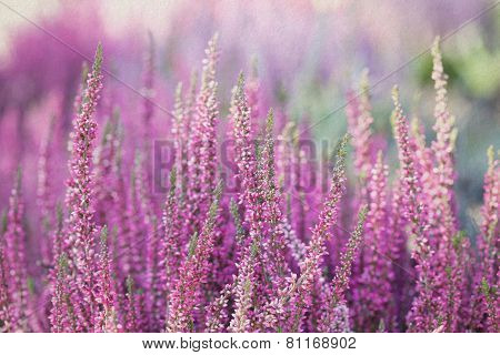 Heather Flowers. Small Violet Flowers. Vintage Paper Background. Retro Style. (soft Focus).