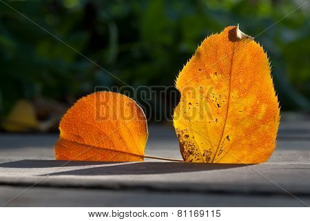 Autumn aspen leaves in the sun