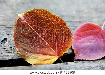 Autumn aspen leaves