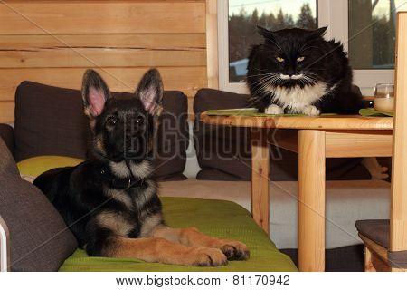 German Shepherd Puppy And Cat