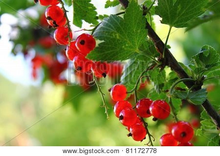 Red currant in summer