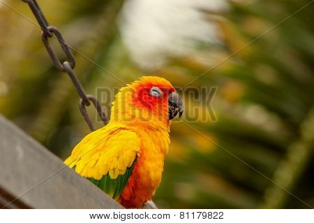 Sun Conure Parrot On A Swing