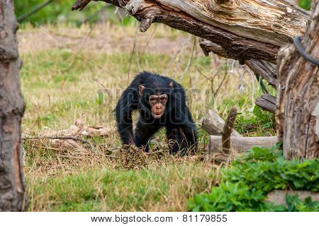 Chimp Youngster In Nature