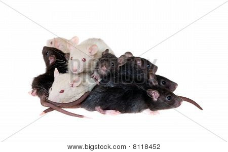 Many Small Infant Rats