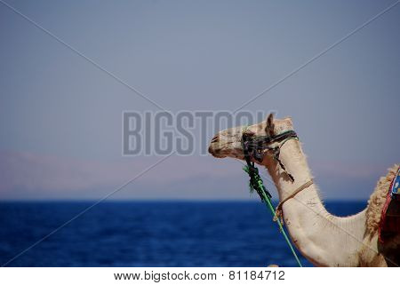 Camel On The Sea